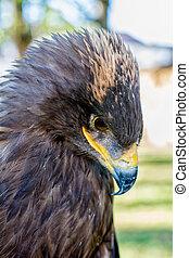 Portrait of a golden eagle