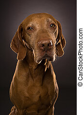 portrait of a golden hungarian vizsla