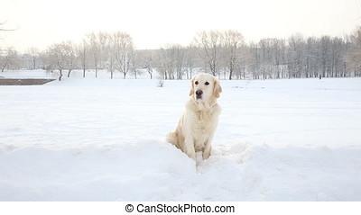 portrait of a golden retriever in winter in a snow park