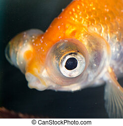 Portrait of a goldfish