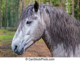 portrait of a gray horse with an intelligent look with sharp ears and a long bang in the background