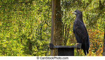 portrait of a gray sea eagle sitting on a wooden pole, a big raptor from Eurasia
