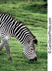 Portrait of a Grazing Zebra