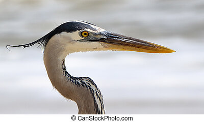 Portrait of a great blue heron, head and neck