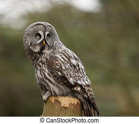 Great Grey Owl - Portrait of a Great Grey Owl