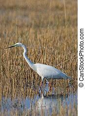Portrait of a great white egret.