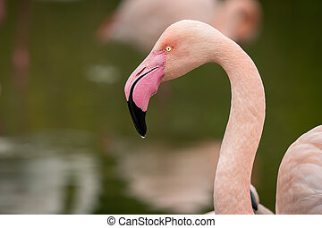 Portrait of a Greater Flamingo in a zoo