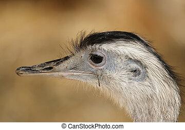 Greater Rhea (Rhea americana) - Portrait of a Greater Rhea (...