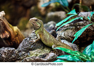 Portrait of a green iguana. Lizard
