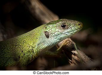 Portrait of a green lizard resting in the sun, Croatia