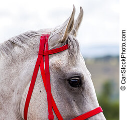 Portrait of a grey arabian horse.