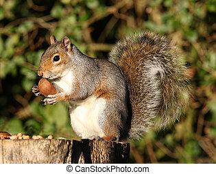 Grey Squirrel - Portrait of a Grey Squirrel eating Chestnuts...
