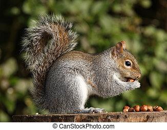 Portrait of a Grey Squirrel eating hazelnuts