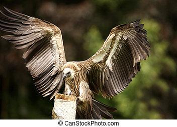 Griffon Vulture - Portrait of a Griffon Vulture in flight