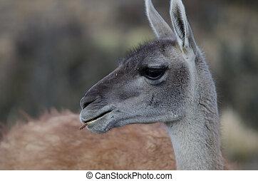 Portrait of a guanaco Lama guanicoe eating. Torres del Paine...