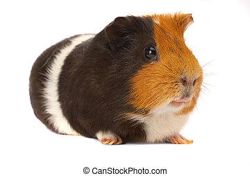 Portrait of a Guinea-pig