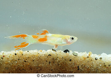 Portrait of a Guppy Fish