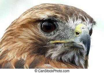 Harrier Hawk - Portrait of a Harrier Hawk