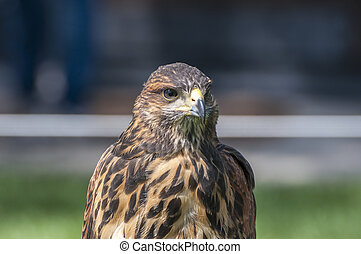 Portrait of a Harris Hawk