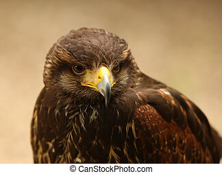 Harris Hawk - Portrait of a Harris Hawk