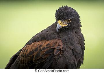 Harris's Hawk - Portrait of a Harris's Hawk. It's a medium ...