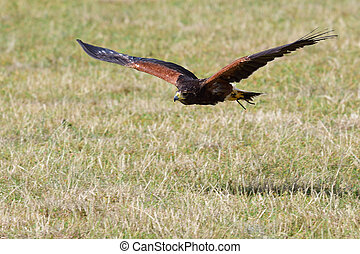 Harris's hawk (parabuteo unicinctus) - Portrait of a Harris'...