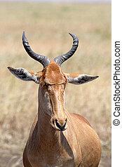 Portrait of a hartebeest