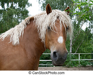 Portrait of a heavy draft horse