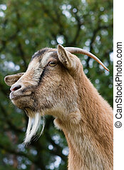 Portrait of a horned Goat.