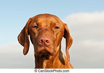 A closeup portrait of a Hungarian Vizsla dog