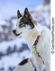 Portrait of a husky in the mountain, Moss pass, Switzerland
