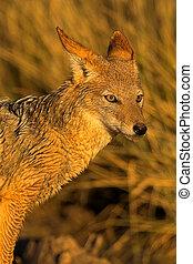 Portrait of a jackal - Portrait of a black backed jackal in...