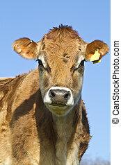 Portrait of a Jersey Cow