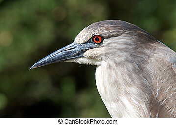 Portrait of a juvenile Black crowned night heron, profile, ...