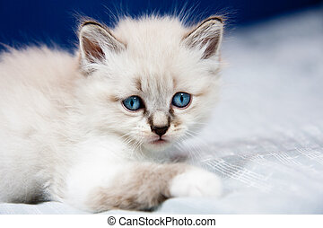 Portrait of a kitten with blue eyes, clear coat, lying on a ...