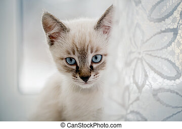 Portrait of a kitten with blue eyes on the window.