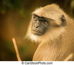 Portrait of a Langoor Macaque