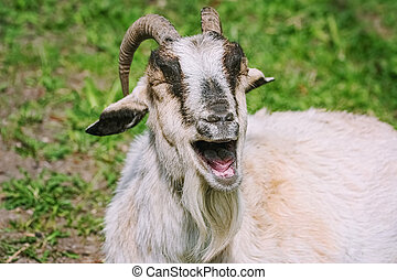 Portrait of a laughing goat - Close-up ortrait of a laughing...