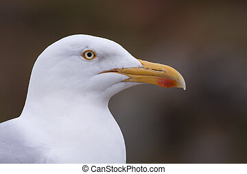 Portrait of a Lesser Black-backed Gull