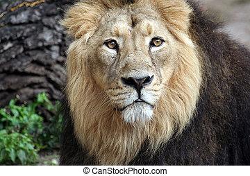 A portrait of a noble proud lion