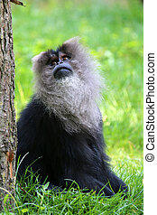 Portrait of a lion tailed monkey looking above
