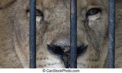 Portrait of a lion with an impressive placid look - Portrait...