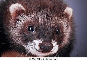 Portrait of a little ferret