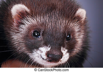 Portrait of a little ferret - Two months old little ferret,...