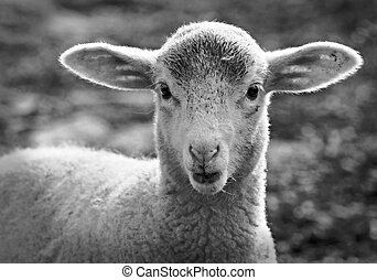 portrait of a little lamb