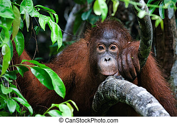 Indonesia, Borneo - Little Orangutan sitting in the trees