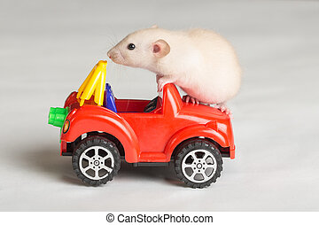 little rat on a toy car