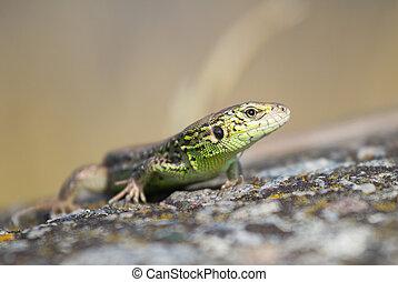 Portrait of a lizard