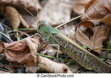 Portrait of a locust on autumn leaves