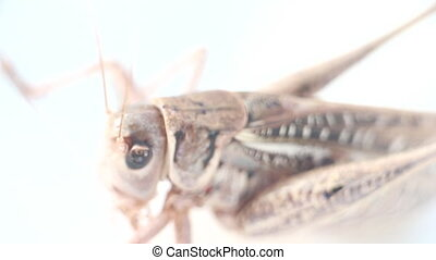 Portrait of a locust - Portrait of locust on white...